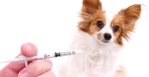 sam e for dogs a large vaccine problem for small dogs dogs naturally magazine