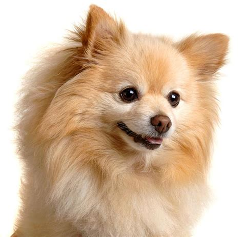 images of pomeranian puppies pomeranian puppy picture