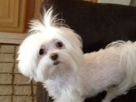 puppy cut maltese maltese with a puppy cut quot quot maltese cuts