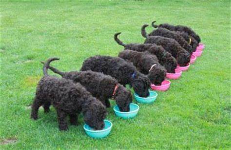how much should a 10 week puppy eat feeding your puppy