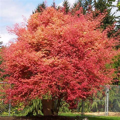 gartenideen bilder 4232 100 besten japanese maple fall color bilder auf