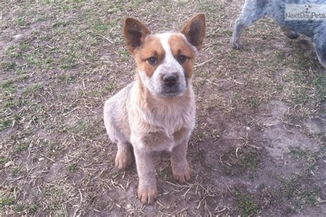 australian heeler puppies australian cattle puppies heeler