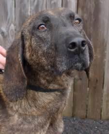 plott hound dogs extreme dog breeds plott hound