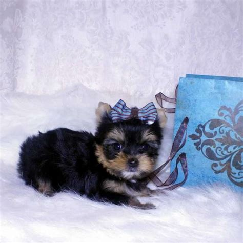 small yorkie puppies for sale small terrier puppy for sale stanley teacup yorkies sale