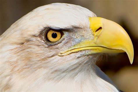 Lu Eagle Eye eagle eye photograph by william jobes