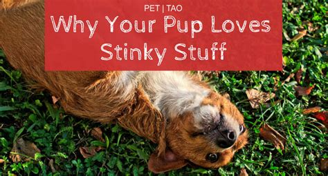 why do dogs roll in stinky stuff top 5 theories why your rolls in stinky stuff