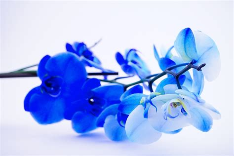 Blue Orchid Wallpapers High Quality   Download Free
