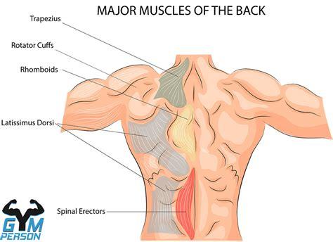 muscular system diagram posterior back view sport fitness advisor
