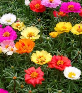 Flowering Shrubs For Afternoon Sun - 18 best flowering ground cover plants balcony garden web