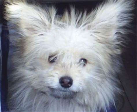 pomeranian vs shih tzu shiranian breed pictures 1