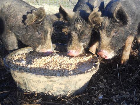 pigs mendocino meats