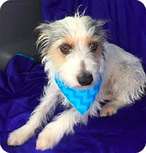 ct rescue dogs terrier unknown type small mix for adoption in manchester connecticut