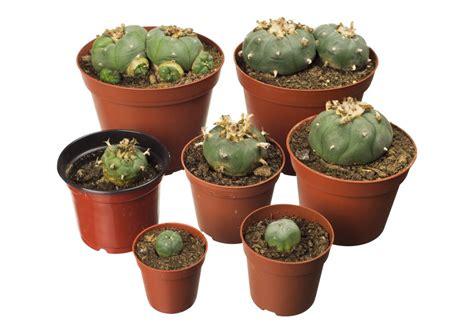 Hat By Kaktusonline peyote kaktus kaufen und bestellen lophophora