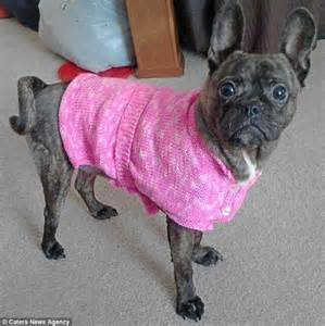 how do pugs usually live pepper the pug s saved by babygros and onesies daily mail