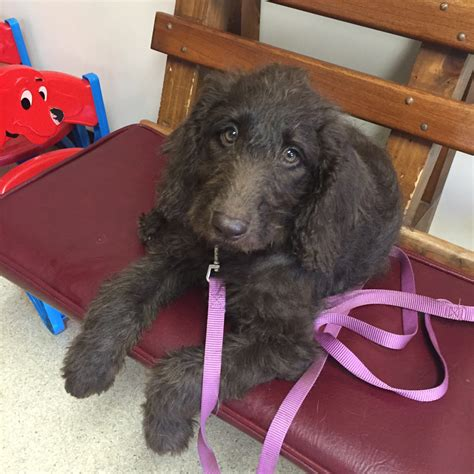 New York Labor Section 191 by Pipers Puppies Of New York Labradoodle Puppies For Sale Available Puppies