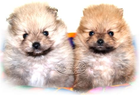 pomeranian information and care pomeranian care information image search results
