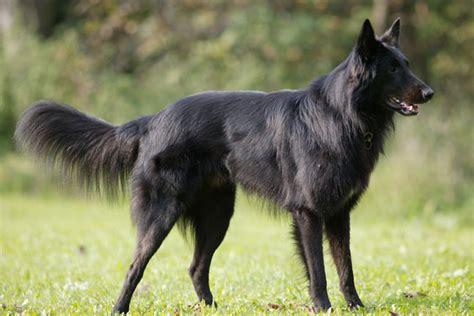 belgian sheepdog puppies for sale belgian sheepdog puppies for sale from reputable breeders