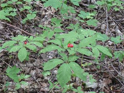 growing ginseng thoughts on wild ginseng and replant disease