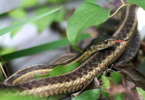 Garden Snake Small Garden Snake