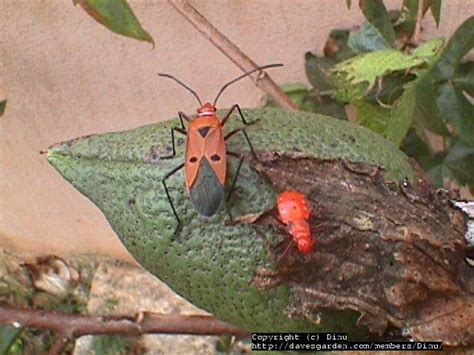 beetle garden pest identification garden insect identification pictures to pin on