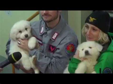 italian avalanche puppies puppies found in italian avalanche