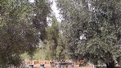 majestic beauty and swan hill olive trees 60 inch boxed