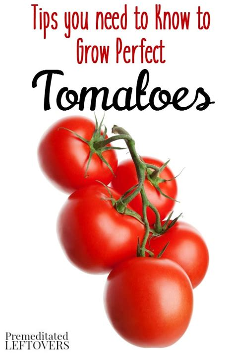 tomatoes have you heard of these tips and advice on how to grow tomatoes