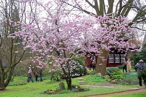 garten pflanzen leverkusen kirsch bl 252 te im japanischen garten in leverkusen foto
