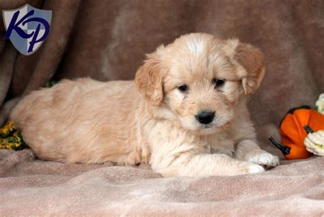 mini goldendoodle puppies for sale in precious miniature goldendoodle puppies for sale in pa keystone puppies mini