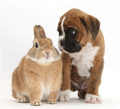 Dog Duvet Boxer Puppy And Netherland Cross Rabbit Photograph By Mark