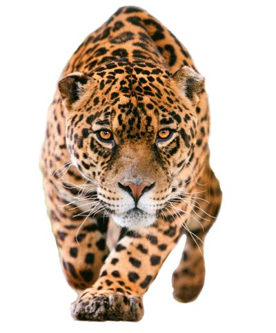 all about jaguars facts jaguar feline facts and information
