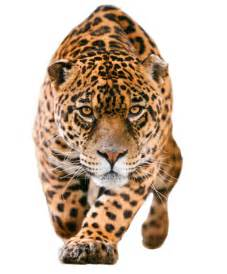 All About Jaguars Jaguar Feline Facts And Information