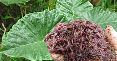 Cacing Di Selokan memisahkan cacing dari lumpur dengan daun keladi