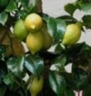 pianta di limoni in vaso cura limone in vaso domande e risposte orto e frutta