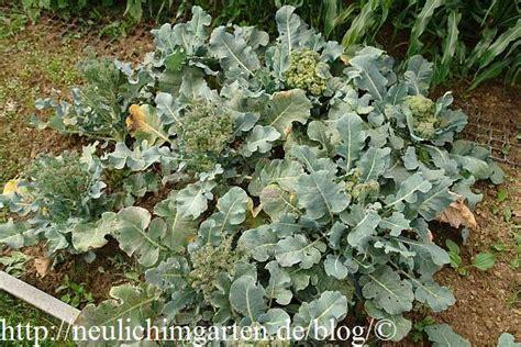 brokkoli garten top 28 brokkoli im garten anbauen anpflanzen brokkoli