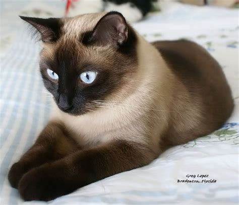 8 Reasons To Get A Siamese Cat by Siamese Cats Picture Gallery Featuring Pictures Of Meezers