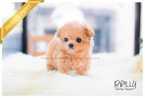 teacup poodle puppies for sale near me poodle f rolly teacup puppies