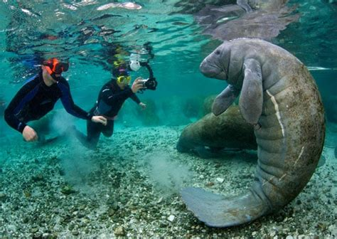 florida s friendly manatees photographed by alexander
