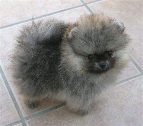 what is a pomeranian look like pomeranian with wolf spitz markings looks like a tiny keeshond dogs