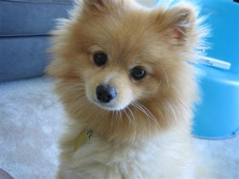 pomeranian colors pomeranian puppy in golden color jpg hi res 720p hd