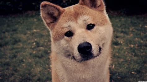 photos dogs akita hachi dogs pictures photos pics images gallery breed in hachiko litle pups
