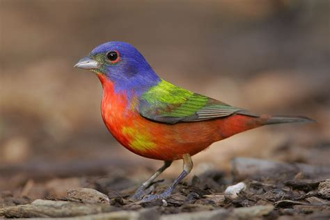 the rainbow bird who doesn t love a painted bunting 08