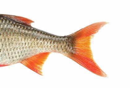 schuppen entfernen warum haben fische schuppen