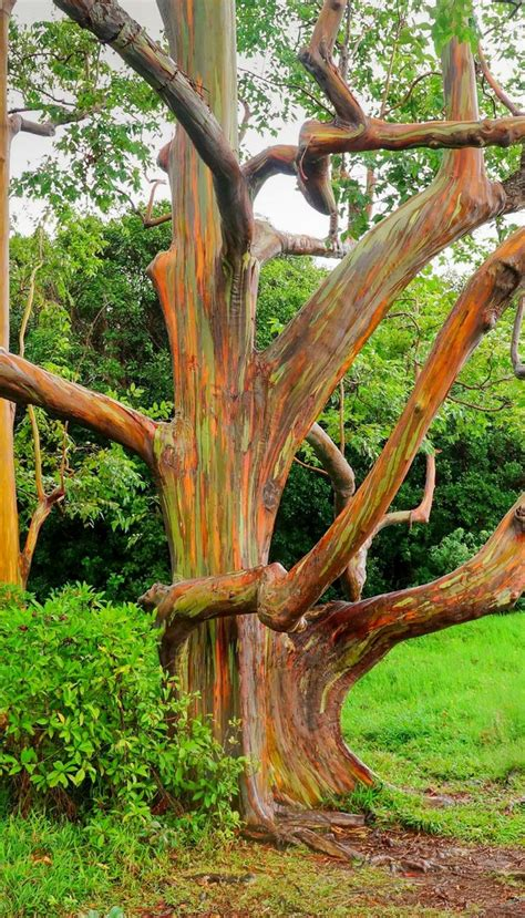 eucalyptus trees best 25 rainbow eucalyptus tree ideas on pinterest