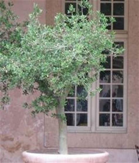coltivazione olivo in vaso olivo in vaso ulivo