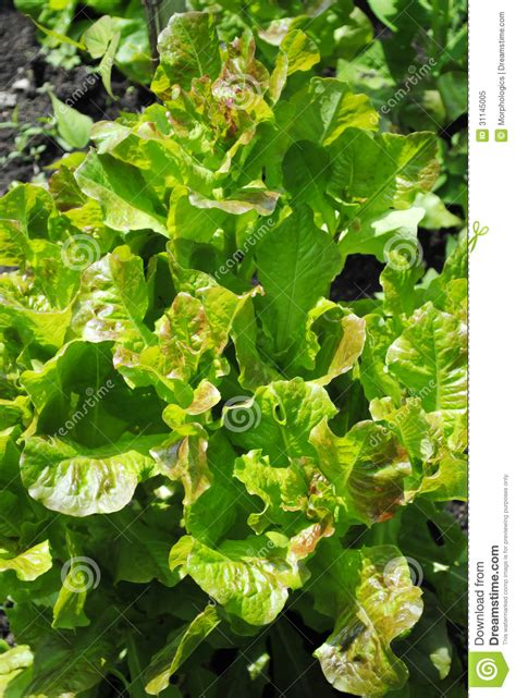 Green Garden Organics by Lettuce Royalty Free Stock Photo Image 31145005