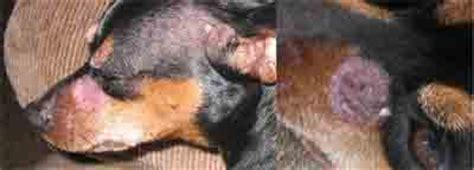 ringworm in dogs pictures ringworm in dogs pictures and treatment options