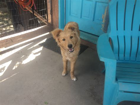 new mexico golden retriever rescue golden retreiver rescue of new mexico 187 available dogs
