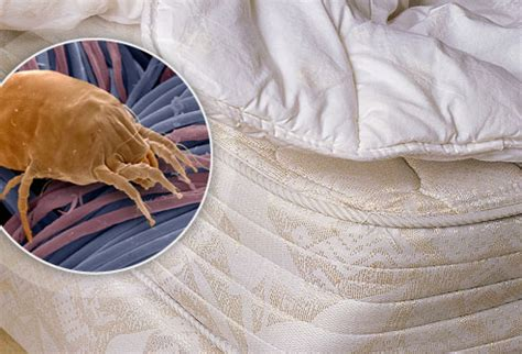 can bed bugs live in memory foam mold mattress
