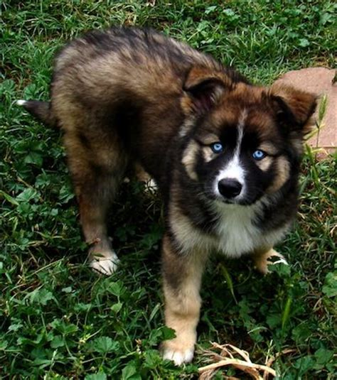 german husky puppies 25 best ideas about german shepherd husky on siberian husky mix german